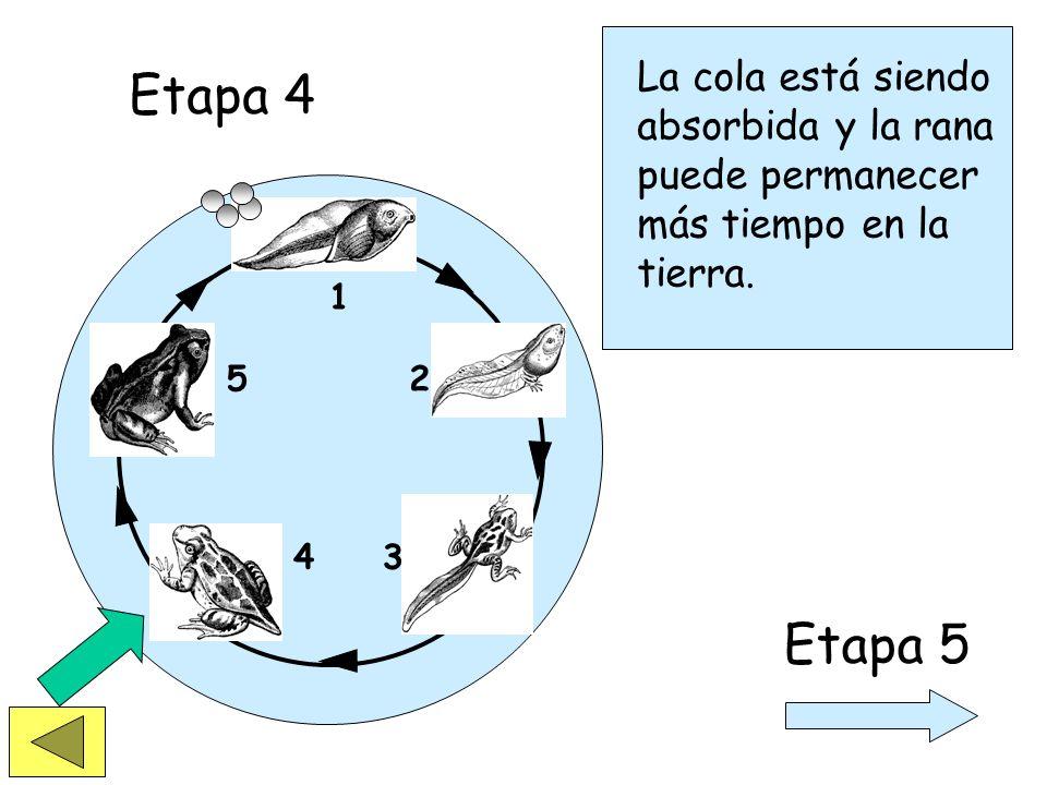 1 2 34 5 Etapa 3 Etapa 4 Después de un periodo de tiempo, el renacuajo ha desarrollado completamente sus patas y pulmones.