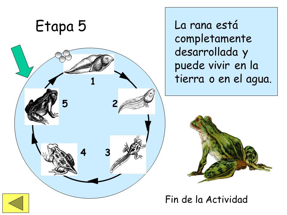 1 2 34 5 Etapa 4 Etapa 5 La cola está siendo absorbida y la rana puede permanecer más tiempo en la tierra.