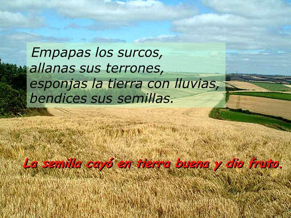 Empapas los surcos, allanas sus terrones, esponjas la tierra con lluvias, bendices sus semillas.