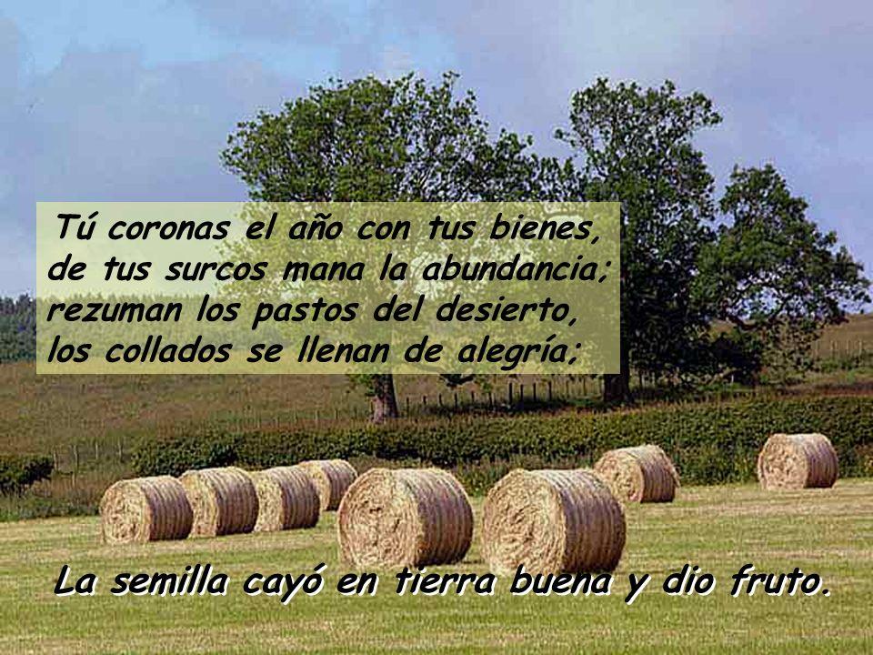 Tú coronas el año con tus bienes, de tus surcos mana la abundancia; rezuman los pastos del desierto, los collados se llenan de alegría; La semilla cayó en tierra buena y dio fruto.