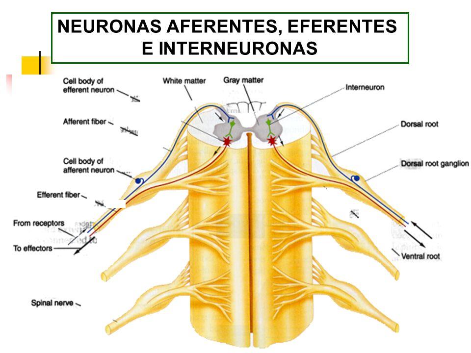 NEURONAS AFERENTES, EFERENTES E INTERNEURONAS