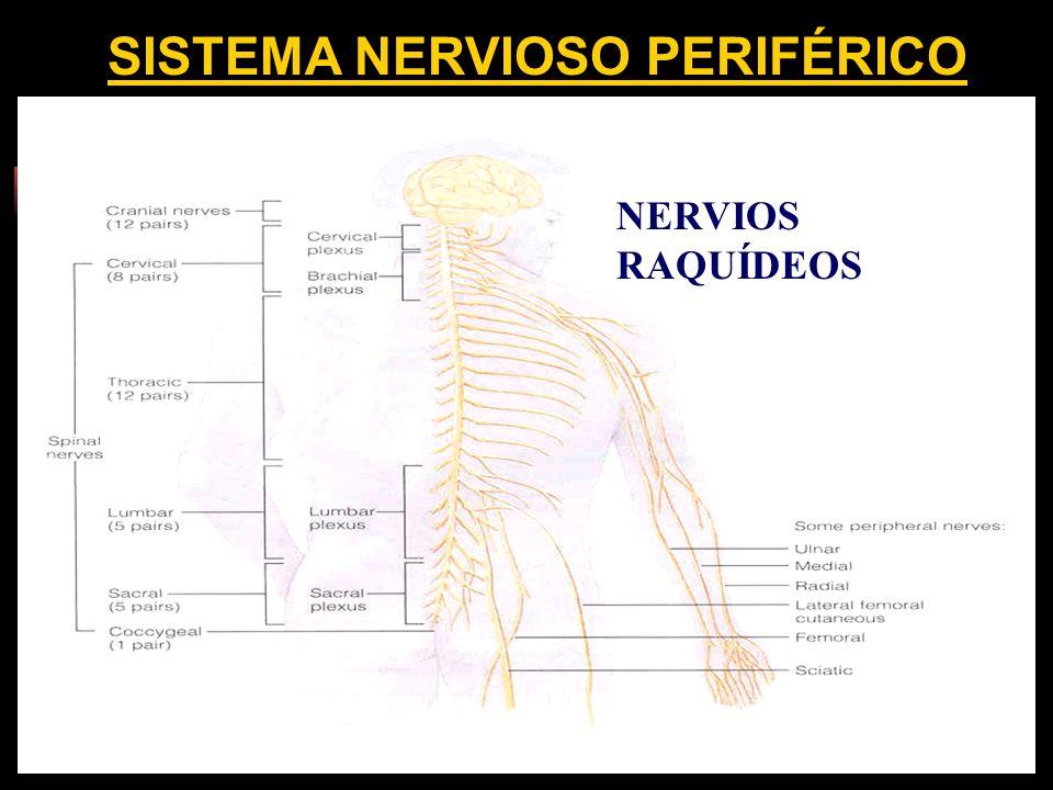 SISTEMA NERVIOSO PERIFÉRICO NERVIOS RAQUÍDEOS