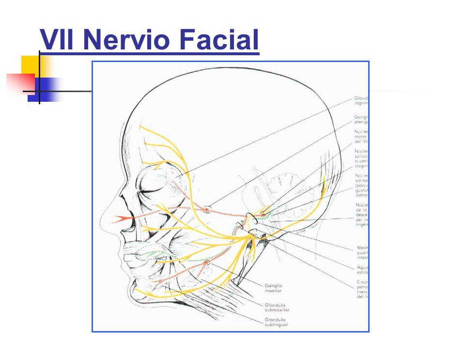 VII Nervio Facial