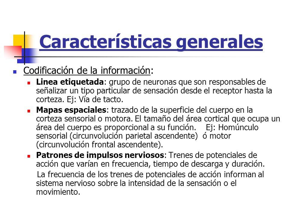 Características generales Codificación de la información: Linea etiquetada: grupo de neuronas que son responsables de señalizar un tipo particular de