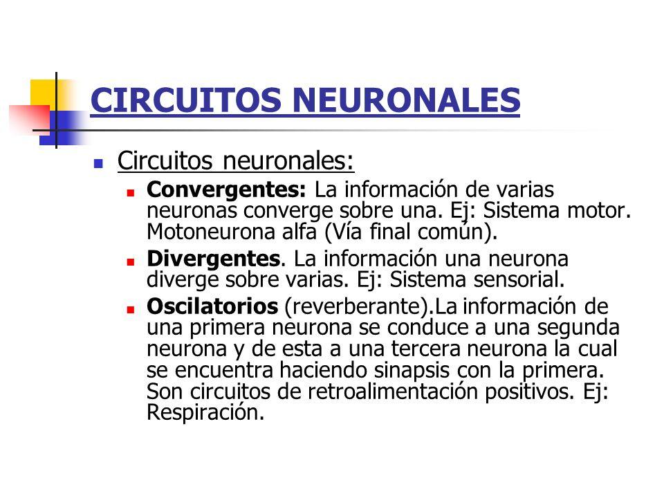 CIRCUITOS NEURONALES Circuitos neuronales: Convergentes: La información de varias neuronas converge sobre una. Ej: Sistema motor. Motoneurona alfa (Ví