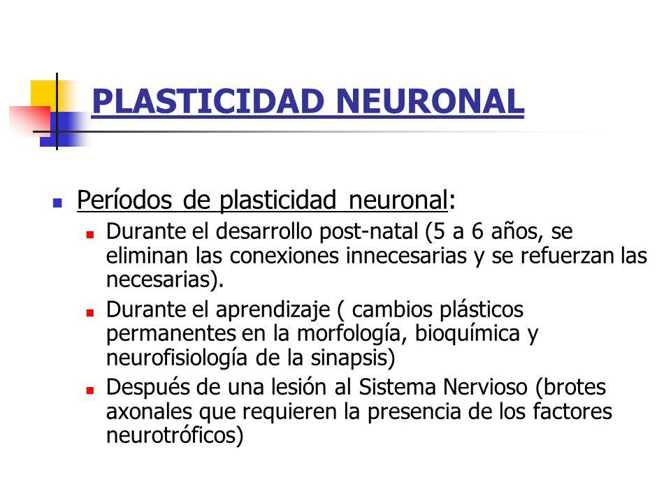 PLASTICIDAD NEURONAL Períodos de plasticidad neuronal: Durante el desarrollo post-natal (5 a 6 años, se eliminan las conexiones innecesarias y se refu