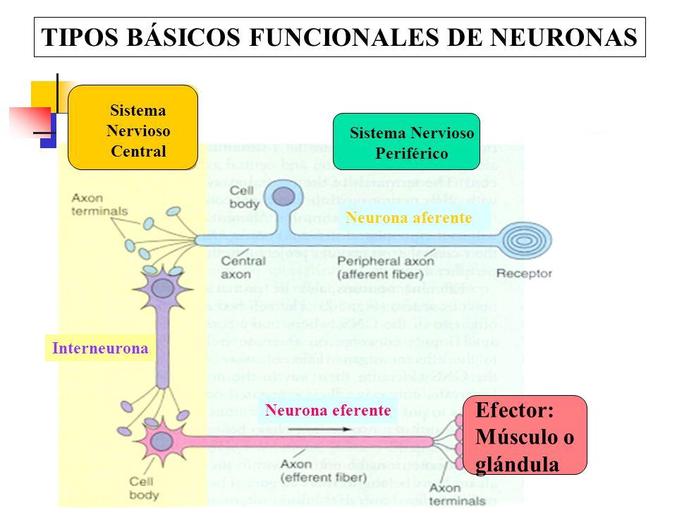 TIPOS BÁSICOS FUNCIONALES DE NEURONAS Neurona aferente Neurona eferente Interneurona Sistema Nervioso Central Sistema Nervioso Periférico Efector: Mús
