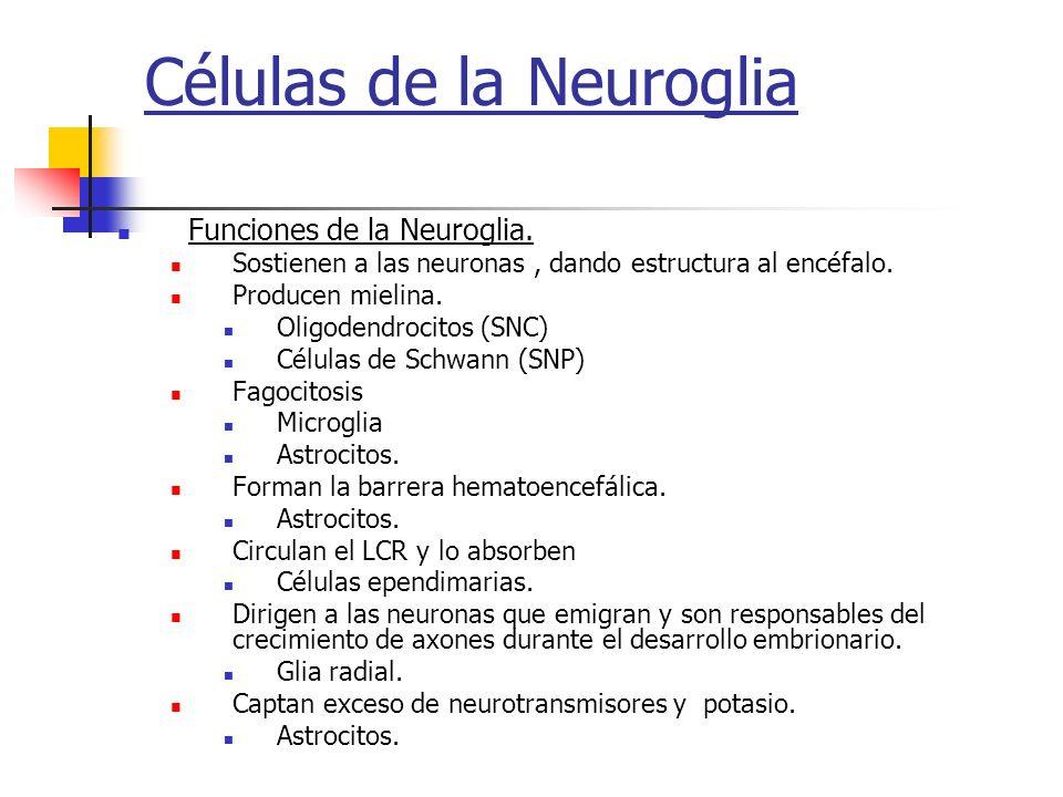 Células de la Neuroglia Funciones de la Neuroglia. Sostienen a las neuronas, dando estructura al encéfalo. Producen mielina. Oligodendrocitos (SNC) Cé