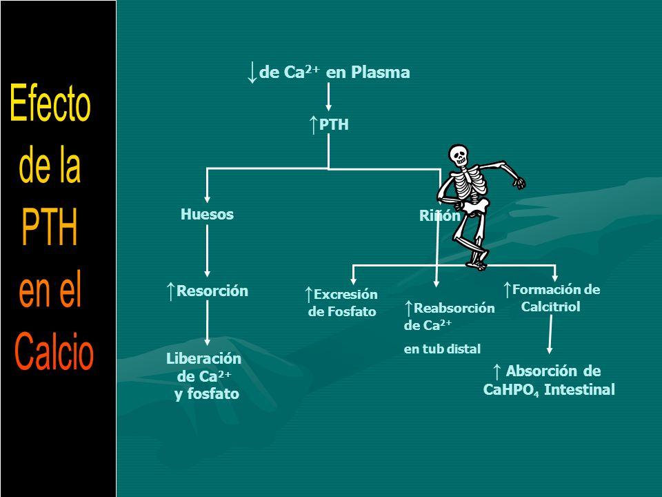 Resorción Riñón PTH de Ca 2+ en Plasma Liberación de Ca 2+ y fosfato Huesos Absorción de CaHPO 4 Intestinal Excresión de Fosfato Reabsorción de Ca 2+