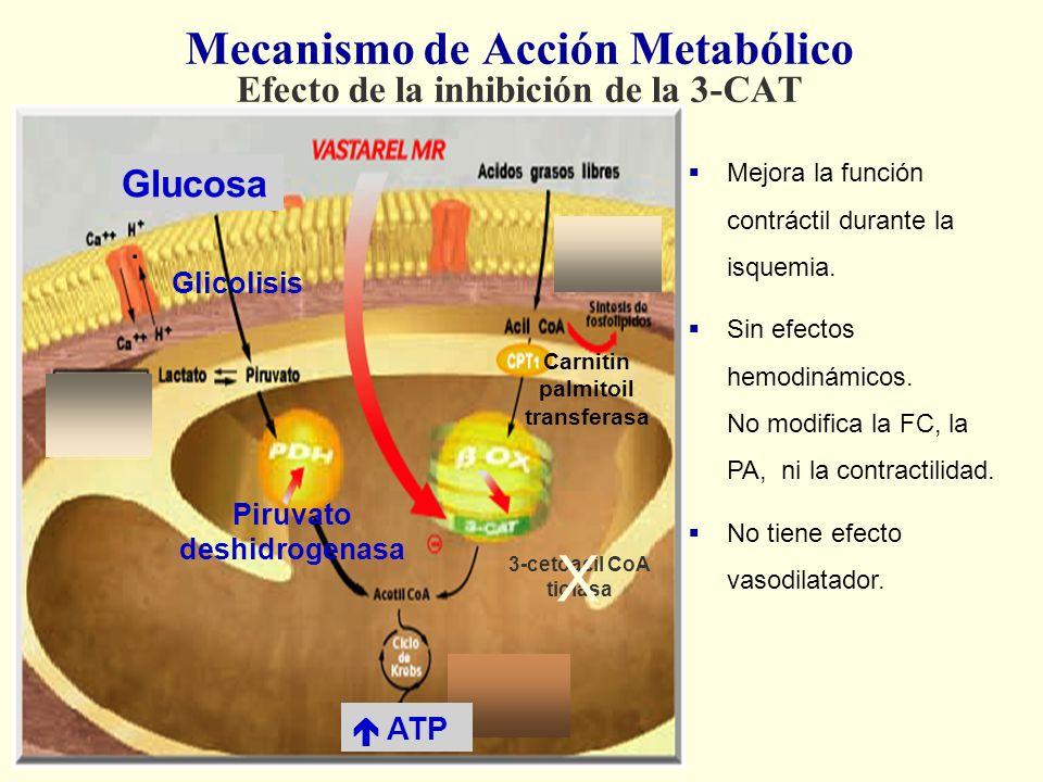 . 3-cetoacil CoA tiolasa Mecanismo de Acción Metabólico Efecto de la inhibición de la 3-CAT Carnitin palmitoil transferasa Glucosa Piruvato deshidroge