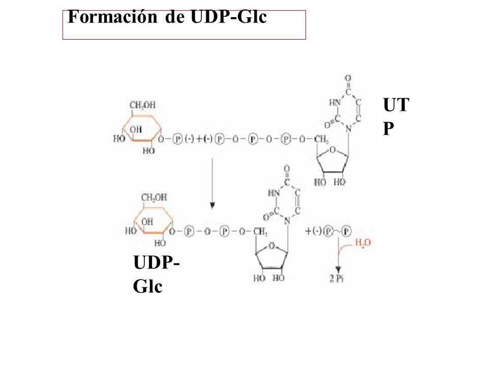 UT P UDP- Glc Formación de UDP-Glc