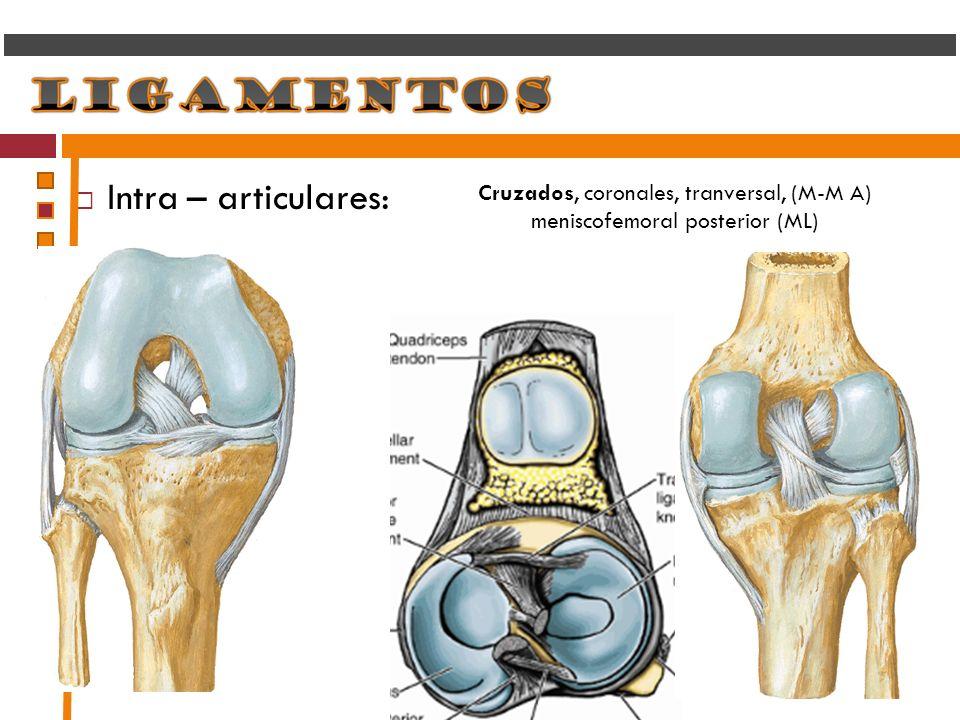 Intra – articulares: Cruzados, coronales, tranversal, (M-M A) meniscofemoral posterior (ML)