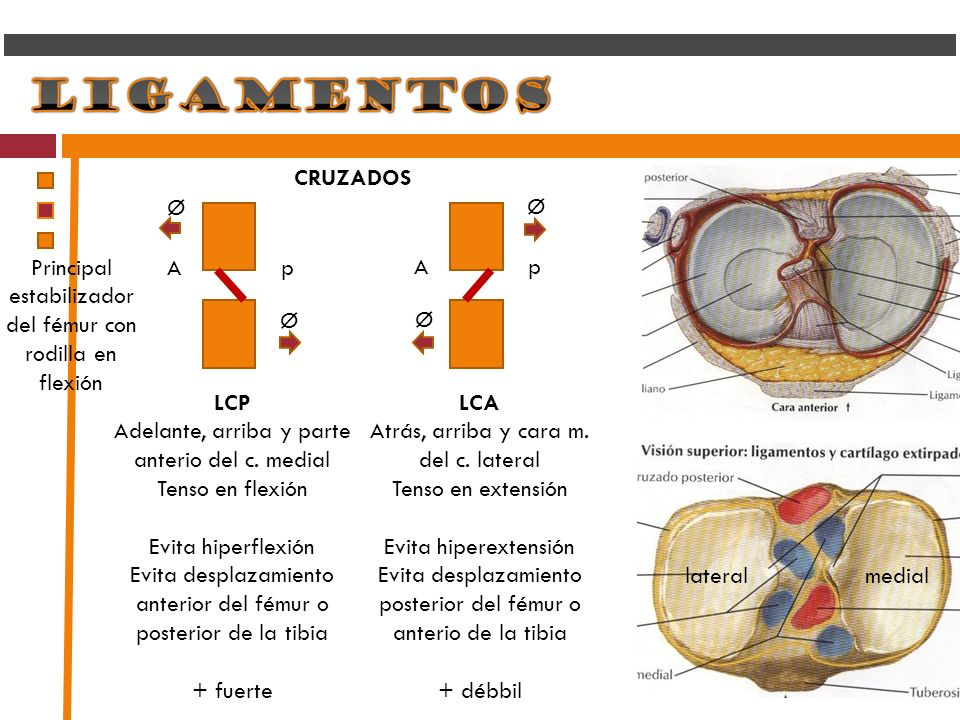 CRUZADOS A p mediallateral LCA Atrás, arriba y cara m. del c. lateral Tenso en extensión Evita hiperextensión Evita desplazamiento posterior del fémur