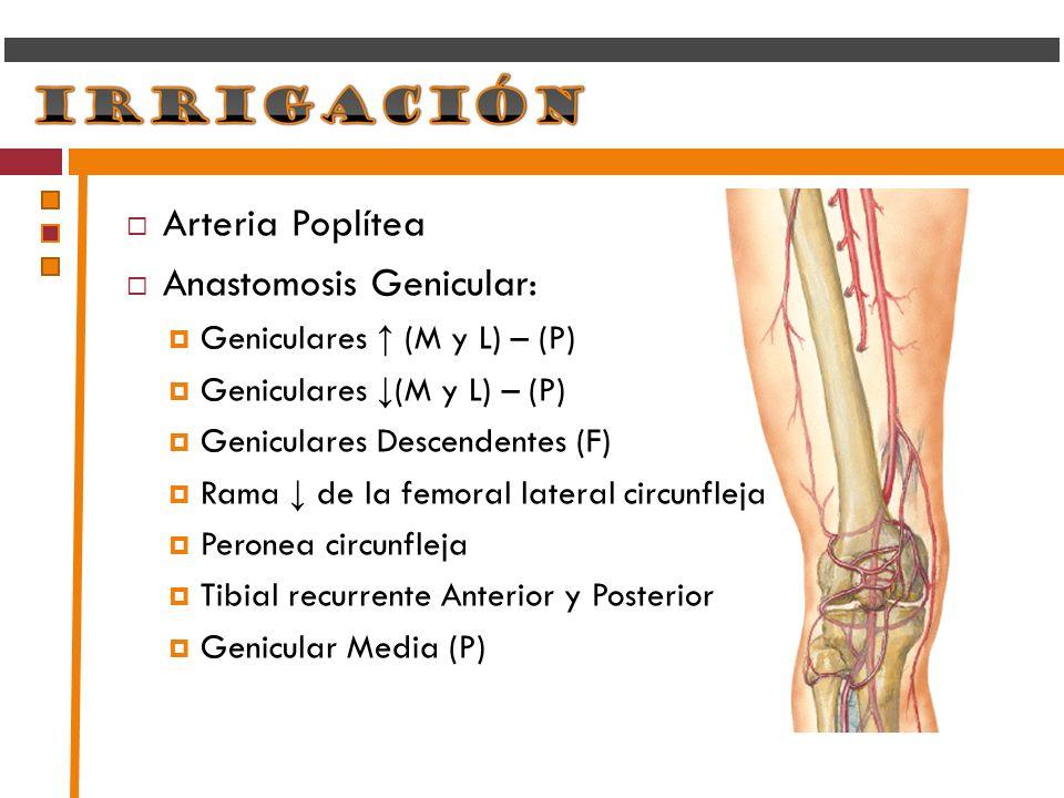 Arteria Poplítea Anastomosis Genicular: Geniculares (M y L) – (P) Geniculares Descendentes (F) Rama de la femoral lateral circunfleja Peronea circunfl