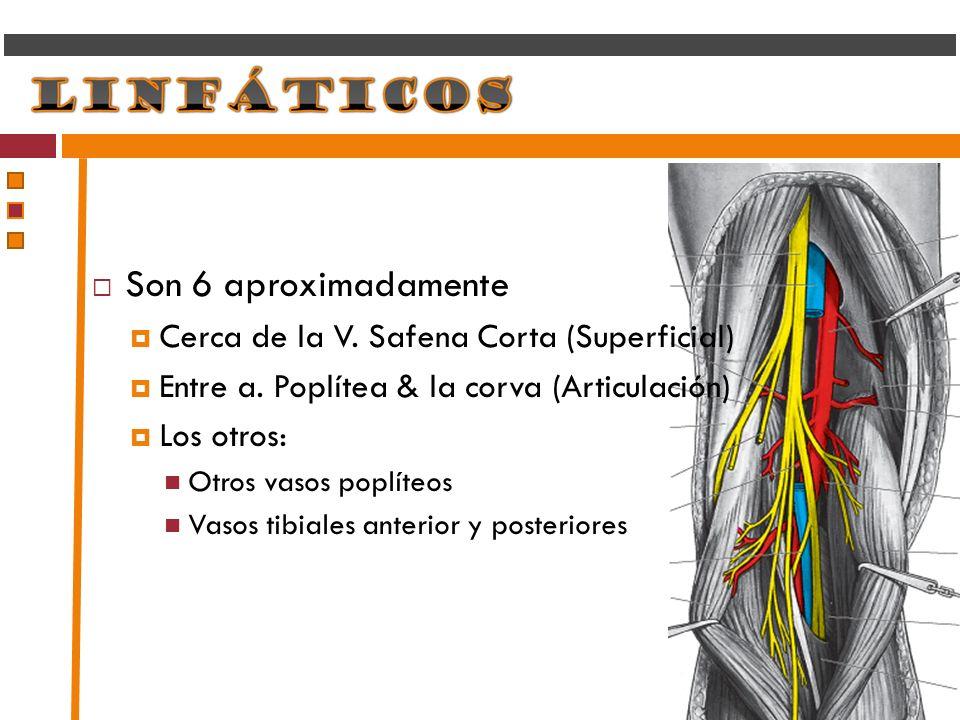 Son 6 aproximadamente Cerca de la V. Safena Corta (Superficial) Entre a. Poplítea & la corva (Articulación) Los otros: Otros vasos poplíteos Vasos tib