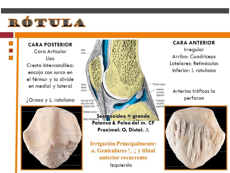 Sesamoideo + grande Palanca & Polea del m. CF Proximal: O, Distal: Proximal: O, Distal: Irrigación Principalmente: a. Geniculares, y tibial anterior r