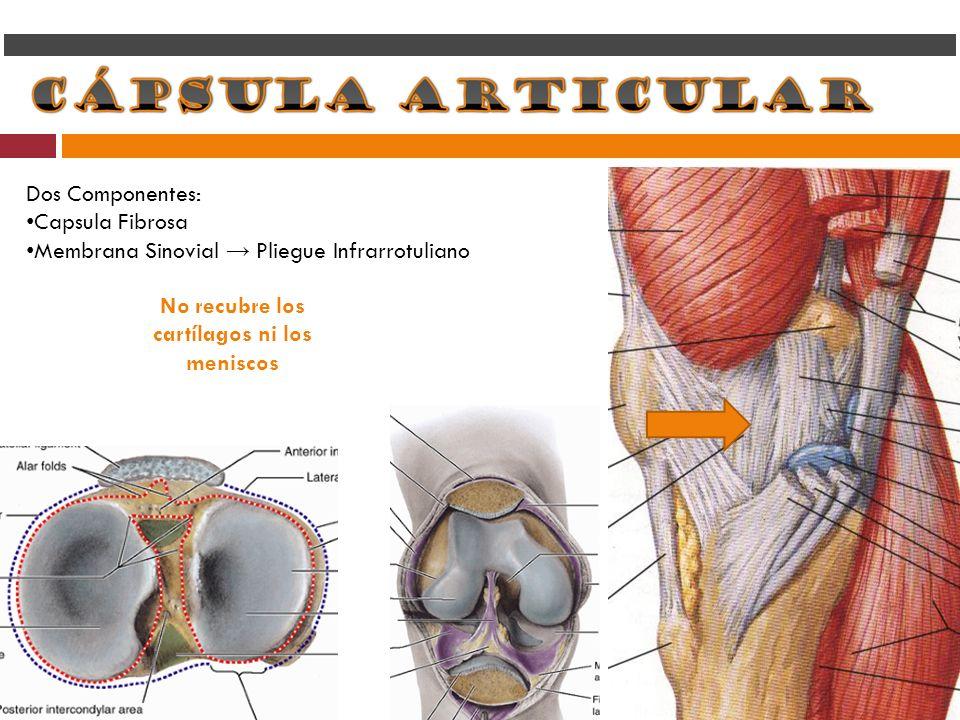 Dos Componentes: Capsula Fibrosa Membrana Sinovial Pliegue Infrarrotuliano No recubre los cartílagos ni los meniscos