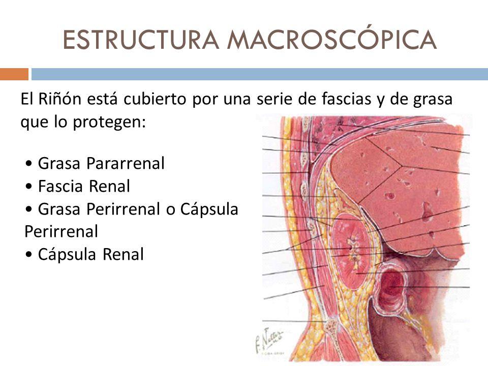 ESTRUCTURA MACROSCÓPICA El Riñón está cubierto por una serie de fascias y de grasa que lo protegen: Grasa Pararrenal Fascia Renal Grasa Perirrenal o C