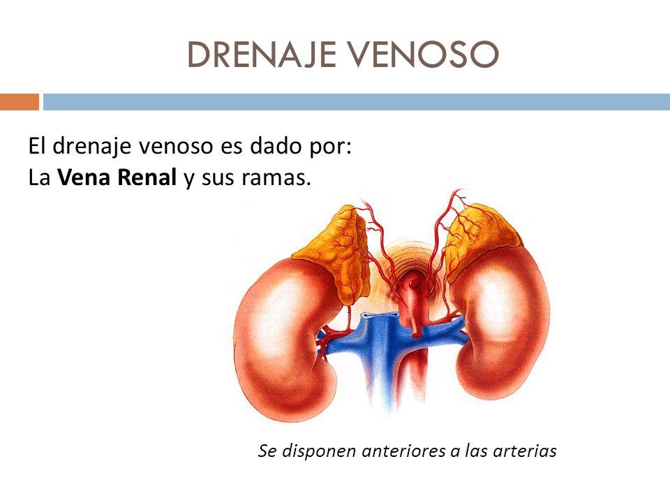 DRENAJE VENOSO El drenaje venoso es dado por: La Vena Renal y sus ramas. Se disponen anteriores a las arterias