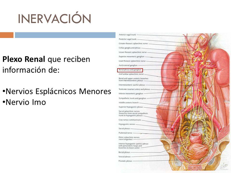INERVACIÓN Plexo Renal que reciben información de: Nervios Esplácnicos Menores Nervio Imo