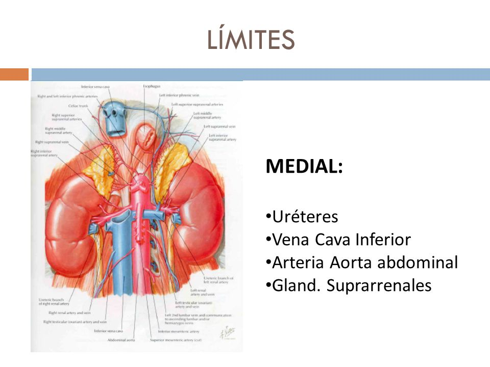 LÍMITES MEDIAL: Uréteres Vena Cava Inferior Arteria Aorta abdominal Gland. Suprarrenales