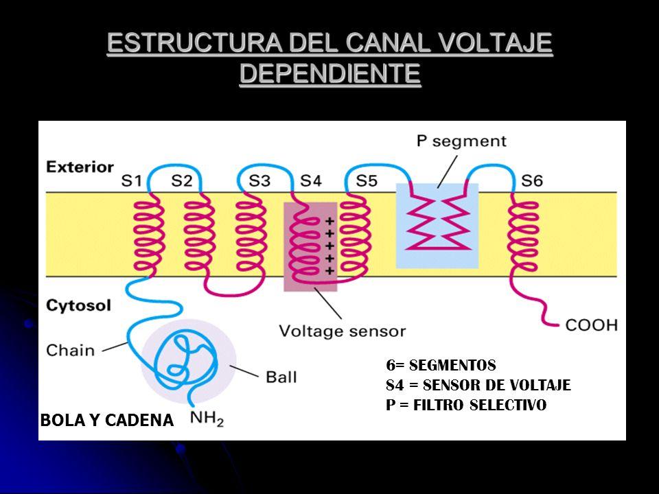 ESTRUCTURA DEL CANAL VOLTAJE DEPENDIENTE 6= SEGMENTOS S4 = SENSOR DE VOLTAJE P = FILTRO SELECTIVO BOLA Y CADENA
