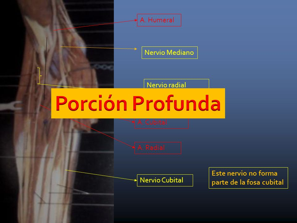 A.Humeral A. Cubital A. Radial Nervio Mediano Nervio Cubital Nervio radial (ramas que van al m.