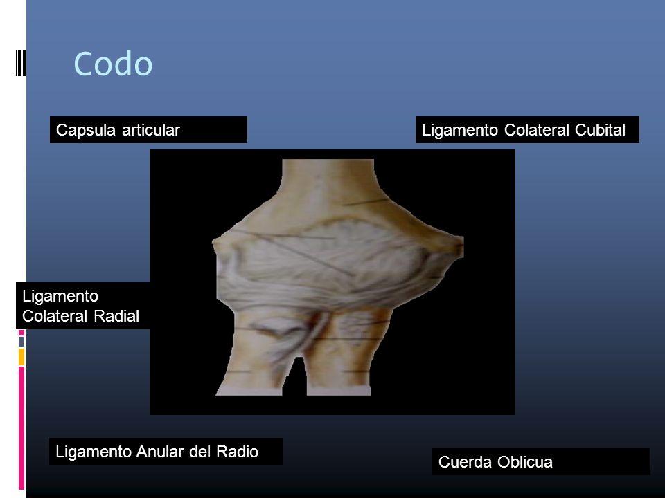 Codo Capsula articular Ligamento Colateral Radial Ligamento Colateral Cubital Ligamento Anular del Radio Cuerda Oblicua