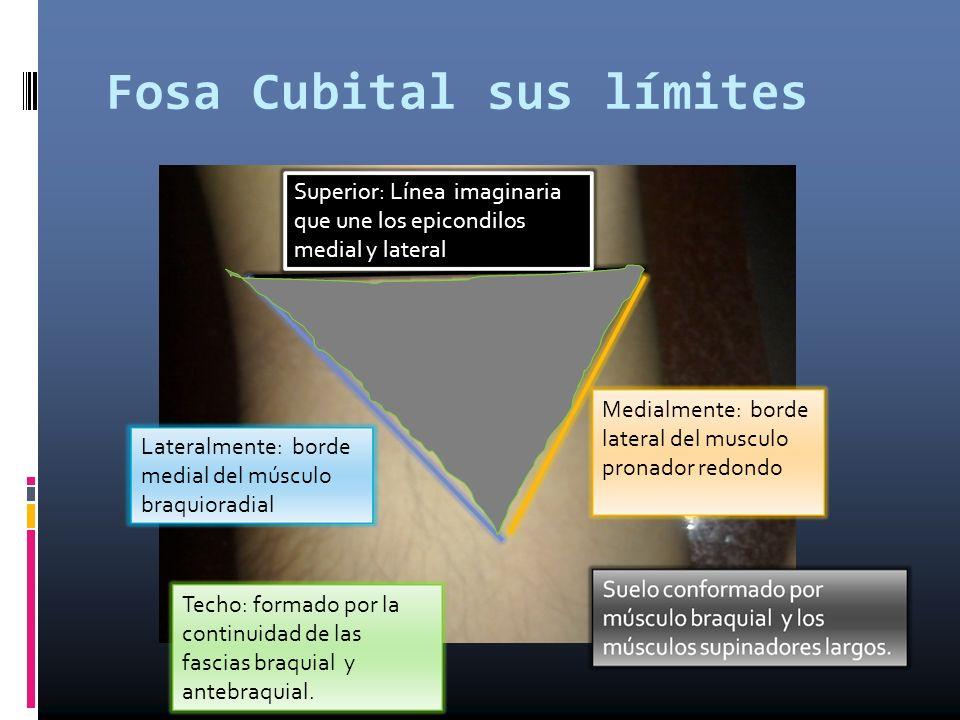 Fosa Cubital sus límites Superior: Línea imaginaria que une los epicondilos medial y lateral Medialmente: borde lateral del musculo pronador redondo L