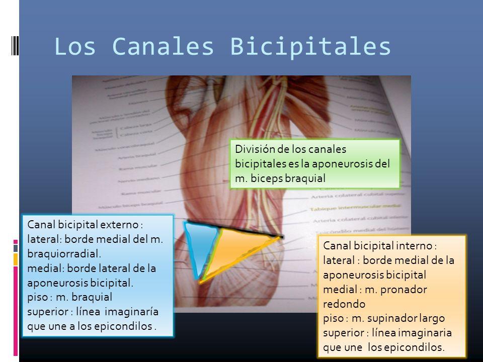 Los Canales Bicipitales División de los canales bicipitales es la aponeurosis del m. biceps braquial Canal bicipital interno : lateral : borde medial