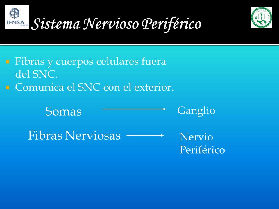 Sistema Nervioso Periférico Fibras y cuerpos celulares fuera del SNC. Comunica el SNC con el exterior. Somas Ganglio Fibras Nerviosas Nervio Periféric