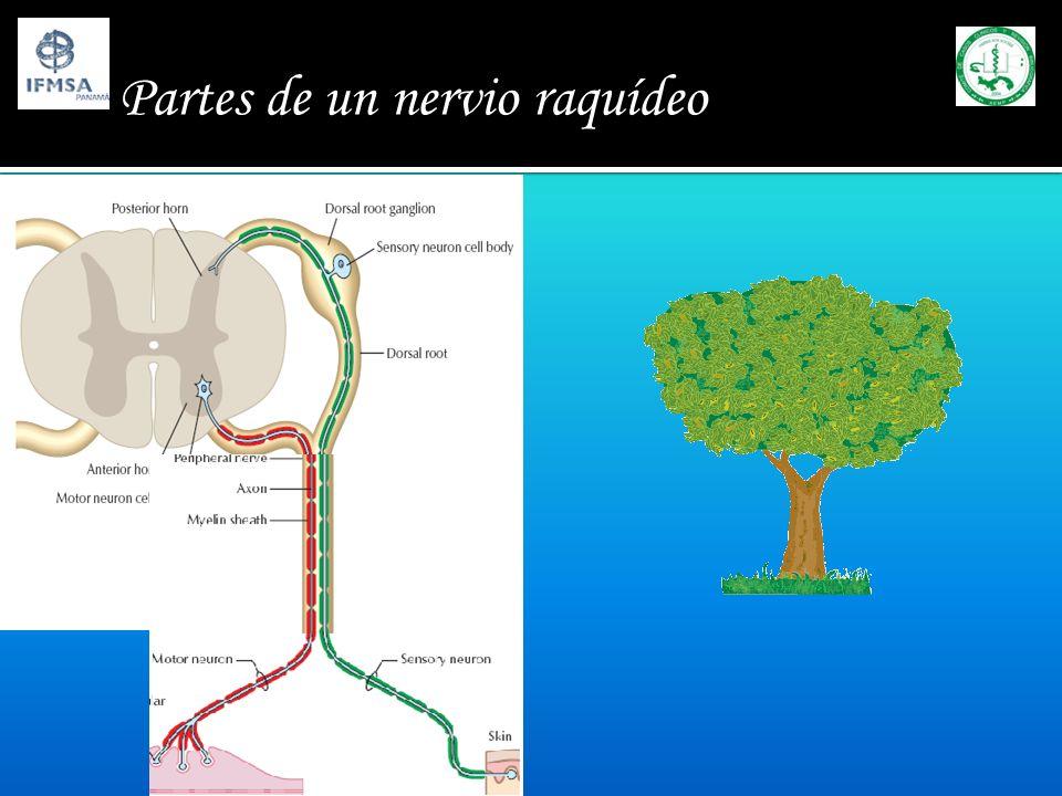 Partes de un nervio raquídeo