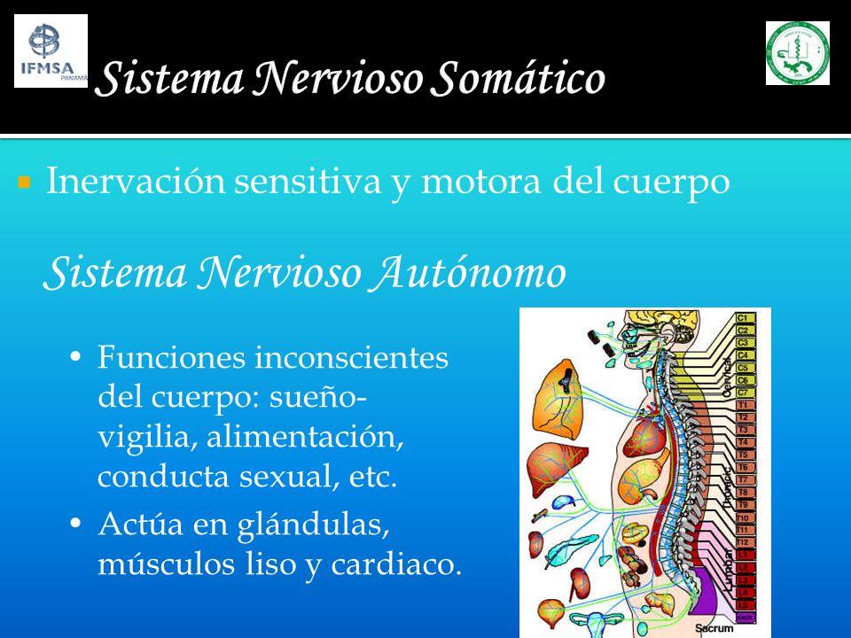 Inervación sensitiva y motora del cuerpo Sistema Nervioso Autónomo Funciones inconscientes del cuerpo: sueño- vigilia, alimentación, conducta sexual,