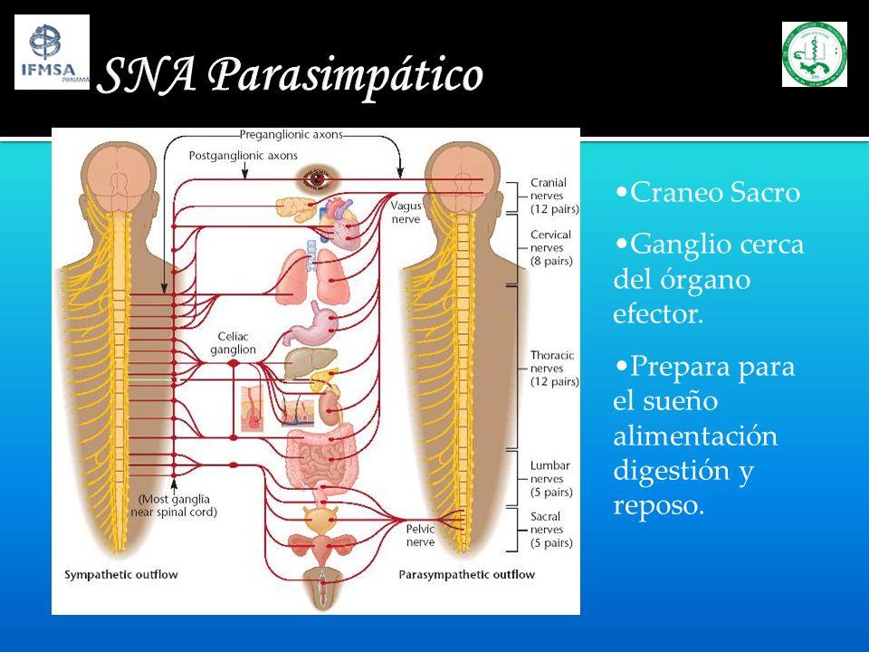 SNA Parasimpático Craneo Sacro Ganglio cerca del órgano efector. Prepara para el sueño alimentación digestión y reposo.