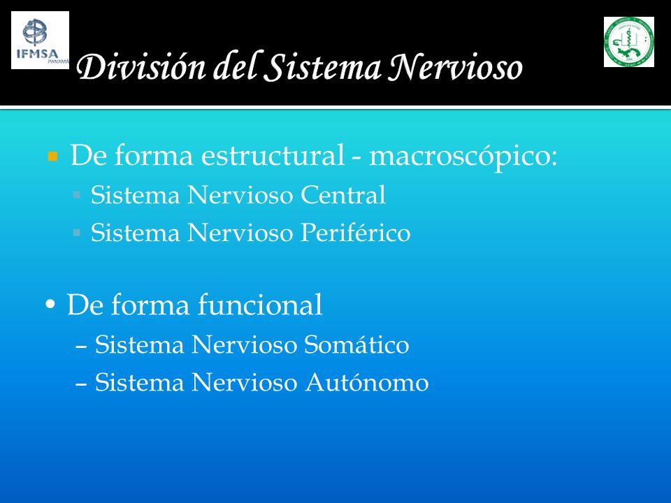 De forma estructural - macroscópico: Sistema Nervioso Central Sistema Nervioso Periférico De forma funcional –Sistema Nervioso Somático –Sistema Nervi