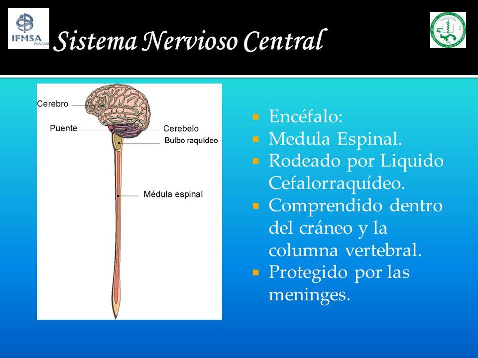 Encéfalo: Medula Espinal. Rodeado por Liquido Cefalorraquídeo. Comprendido dentro del cráneo y la columna vertebral. Protegido por las meninges.