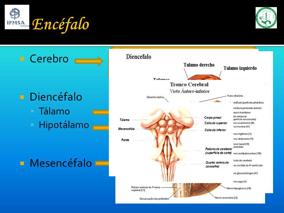 Integración y ejecución de la información Funciones intelectuales superiores Cerebro Diencéfalo Tálamo Hipotálamo Mesencéfalo Estación de relevo Regul