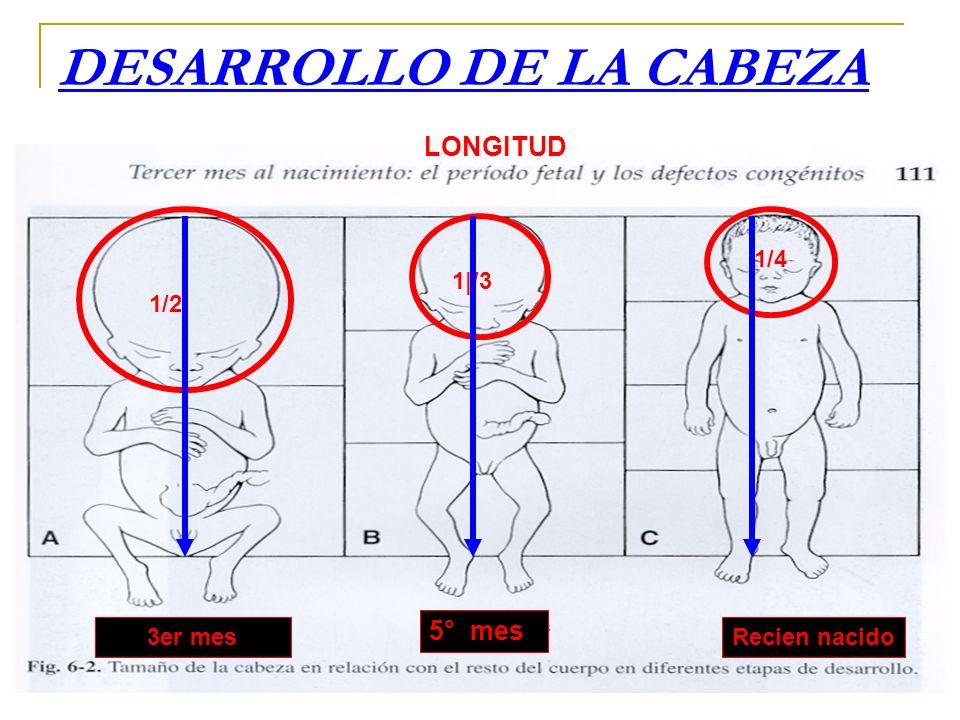 DESARROLLO DE LA CABEZA 1/2 1|/3 1/4 3er mes 5° mes Recien nacido LONGITUD