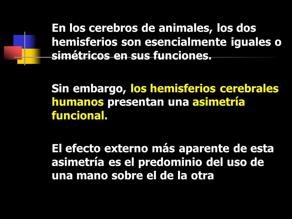 En los cerebros de animales, los dos hemisferios son esencialmente iguales o simétricos en sus funciones.