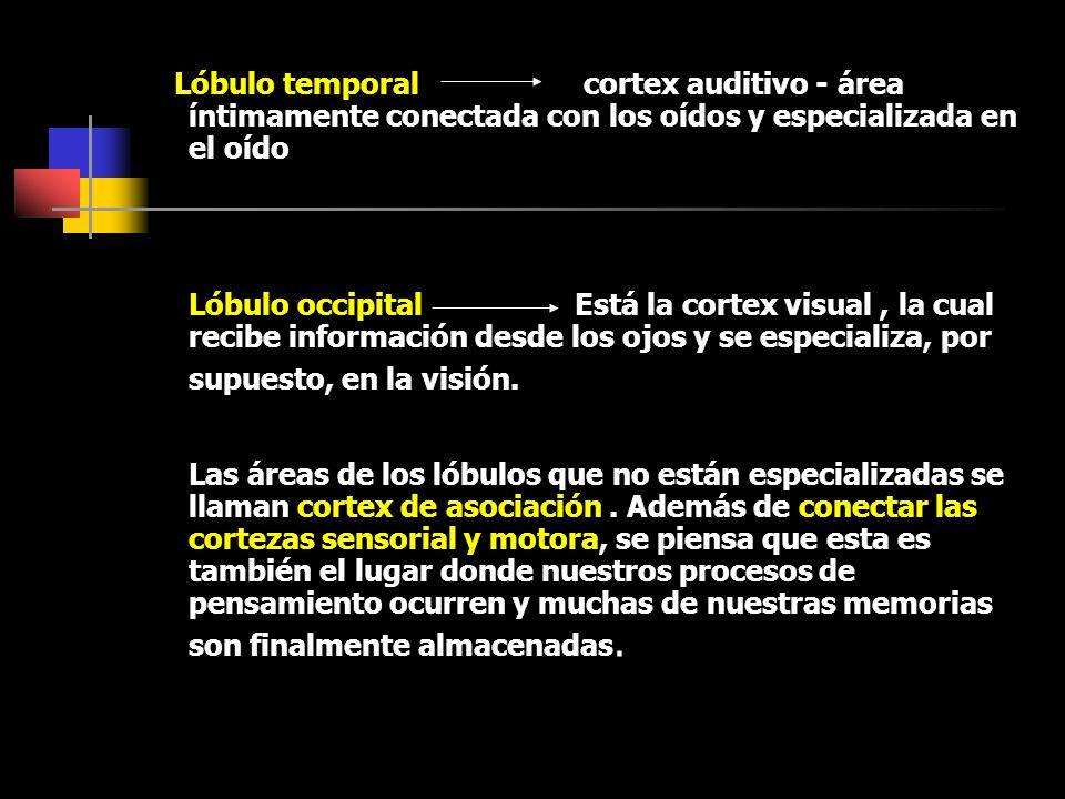 Lóbulo temporal cortex auditivo - área íntimamente conectada con los oídos y especializada en el oído Lóbulo occipital Está la cortex visual, la cual recibe información desde los ojos y se especializa, por supuesto, en la visión.