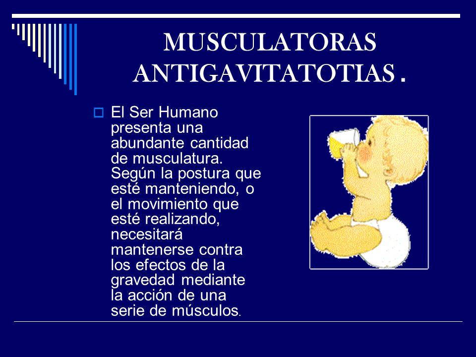 MUSCULATORAS ANTIGAVITATOTIAS.El Ser Humano presenta una abundante cantidad de musculatura.