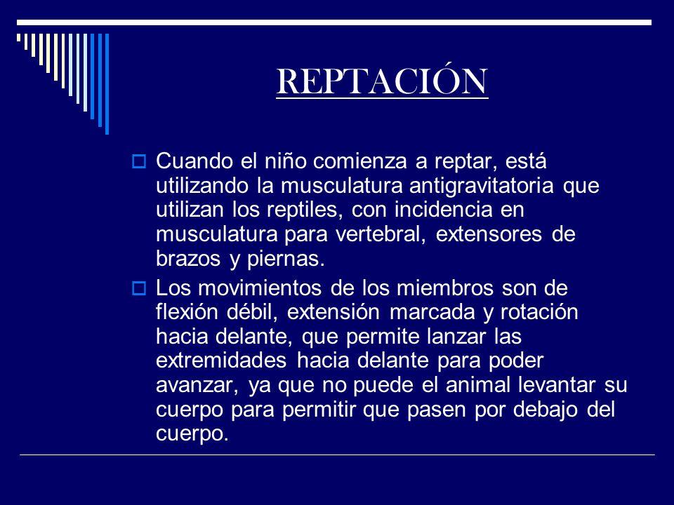 REPTACIÓN Cuando el niño comienza a reptar, está utilizando la musculatura antigravitatoria que utilizan los reptiles, con incidencia en musculatura para vertebral, extensores de brazos y piernas.
