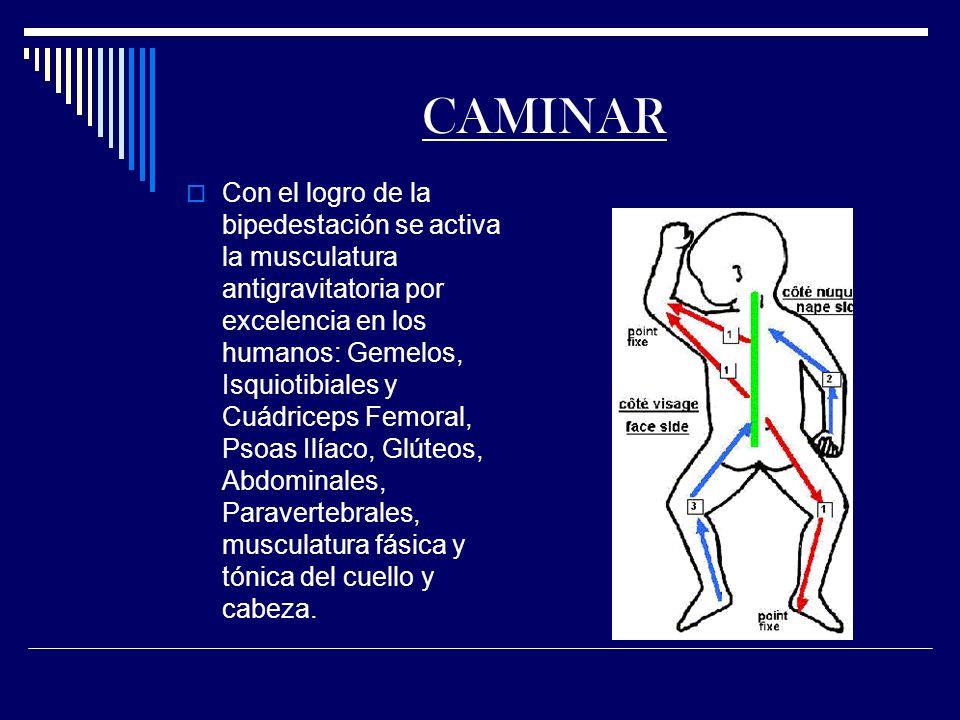 CAMINAR Con el logro de la bipedestación se activa la musculatura antigravitatoria por excelencia en los humanos: Gemelos, Isquiotibiales y Cuádriceps Femoral, Psoas Ilíaco, Glúteos, Abdominales, Paravertebrales, musculatura fásica y tónica del cuello y cabeza.