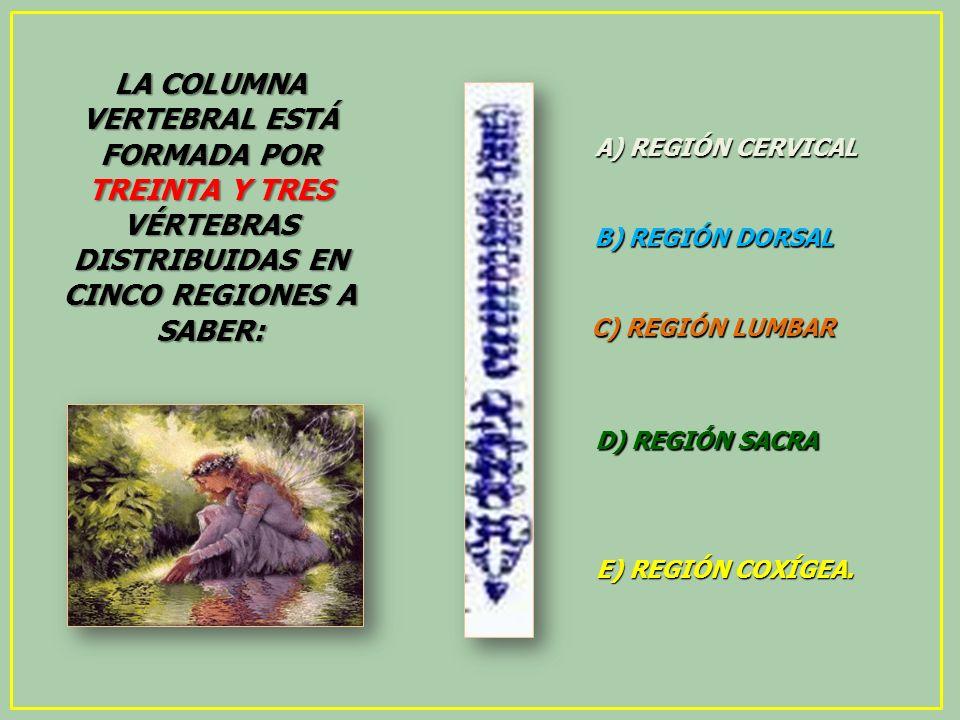 LA COLUMNA VERTEBRAL ESTÁ FORMADA POR TREINTA Y TRES VÉRTEBRAS DISTRIBUIDAS EN CINCO REGIONES A SABER: A) REGIÓN CERVICAL B) REGIÓN DORSAL C) REGIÓN L
