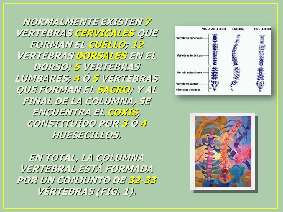 NORMALMENTE EXISTEN 7 VERTEBRAS CERVICALES QUE FORMAN EL CUELLO; 12 VERTEBRAS DORSALES EN EL DORSO; 5 VERTEBRAS LUMBARES; 4 Ó 5 VERTEBRAS QUE FORMAN E