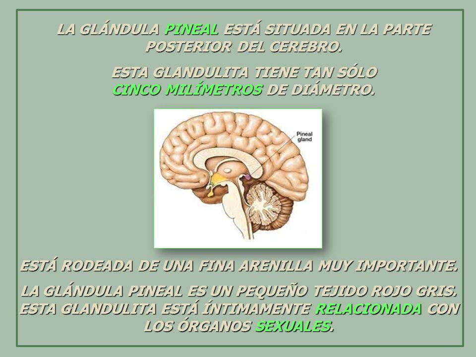 LA GLÁNDULA PINEAL SECRETA CIERTAS HORMONAS QUE REGULAN TODO EL PROGRESO, EVOLUCIÓN Y DESARROLLO DE LOS ÓRGANOS SEXUALES.