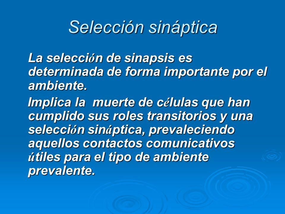 Selección sináptica La selecci ó n de sinapsis es determinada de forma importante por el ambiente. Implica la muerte de c é lulas que han cumplido sus
