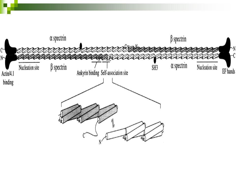La Membrana del Eritrocito La disrupción de la interacción de los componentes del citoesqueleto causa la pérdida de la integridad de la membrana Los defectos en la interacción horizontal causan eliptocitosis hereditaria Defectos en la interacción vertical causan la esferocitosis hereditaria
