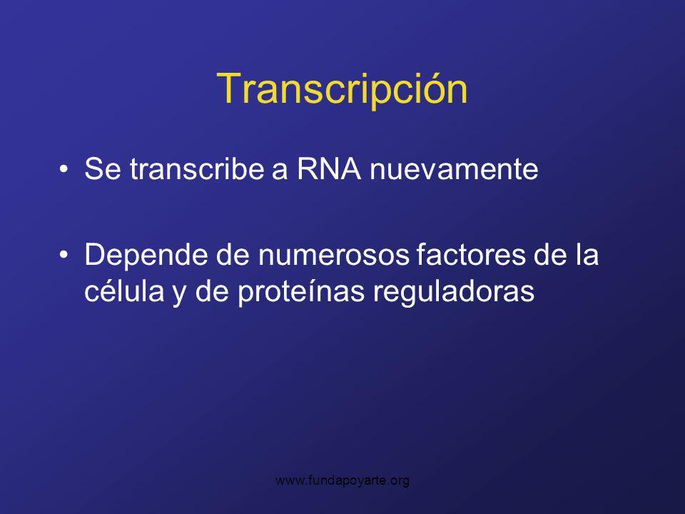 www.fundapoyarte.org Transcripción Se transcribe a RNA nuevamente Depende de numerosos factores de la célula y de proteínas reguladoras