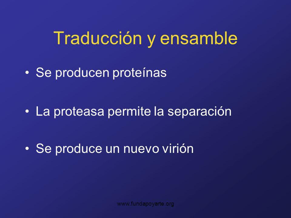 www.fundapoyarte.org Traducción y ensamble Se producen proteínas La proteasa permite la separación Se produce un nuevo virión